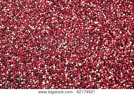 Cranberries In Flooded Marsh - Wide