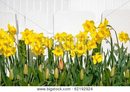 Daffodil And Tulip Bud Floral Border