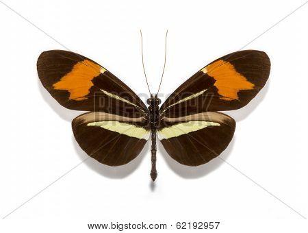 Heliconius Erato Butterflies