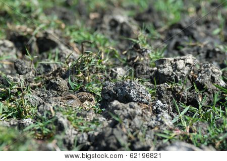 Spur-winged Plover Chick Staying Hidden