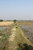 picture of sundarbans  - Cows grazing in the rice fields in Sundarbans - JPG