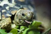 stock photo of carapace  - Mountain or leopard tortoise  - JPG