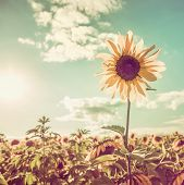image of sunflower-seed  - One sunflower rising above the rest - JPG