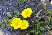 image of adonis  - yellow adonis flowering in the garden spring - JPG