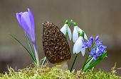stock photo of morel mushroom  - Spring mushroom among spring flowers  - JPG