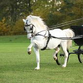 foto of pony  - Nice white welsh mountain pony stallion running in autumn - JPG