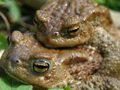 Couple of gray toads