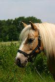 Haflinger Horse Portrait poster