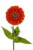 image of zinnias  - Red flower of zinnia  - JPG