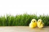 Easter chicks over green grass background with white copy space