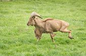 stock photo of north sudan  - Ram of Barbary sheep breed running on grass - JPG