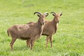 stock photo of north sudan  - Two barbary sheep standing on grass and looking at camera - JPG