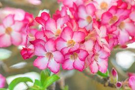 pic of azalea  - beautiful azalea flowers Group of azalea flowers - JPG