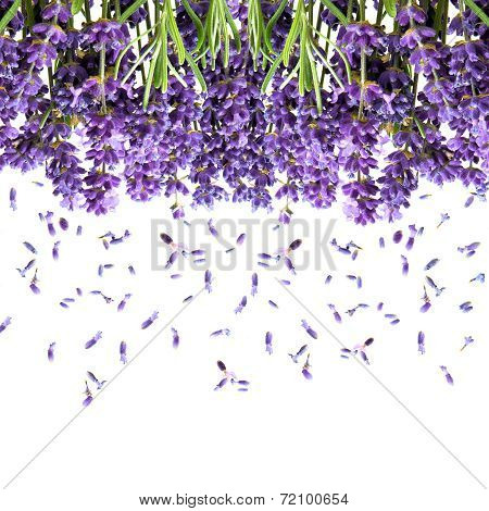 Lavender Flowers Isolated On White. Floral Background