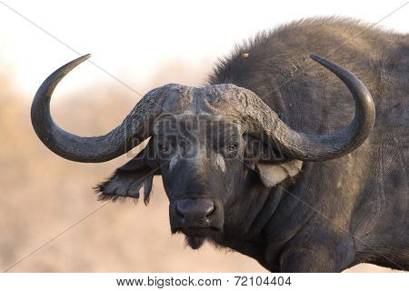 Buffalo, African