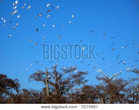 Sky Of White Ibis