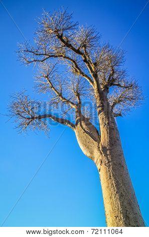 Single huge baobab