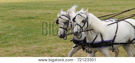 Grey Horses.