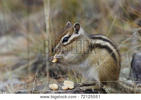 Chipmunk Nibbles Nuts