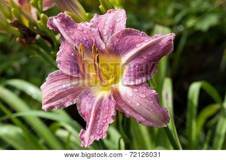 Wilted Lily