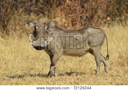 Warthog - African Wildlife Background - Posture of Power