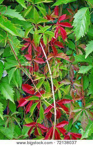 Parthenocissus Quinquefolia Closeup As Background