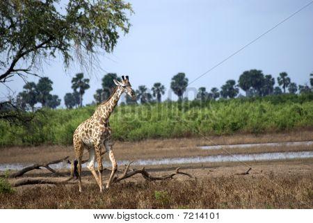 Masaai Giraffes, Selous National Park, Tanzania
