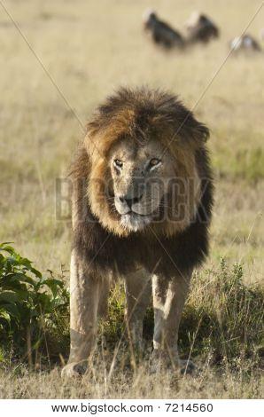 African Lion , Masai Mara, Kenya