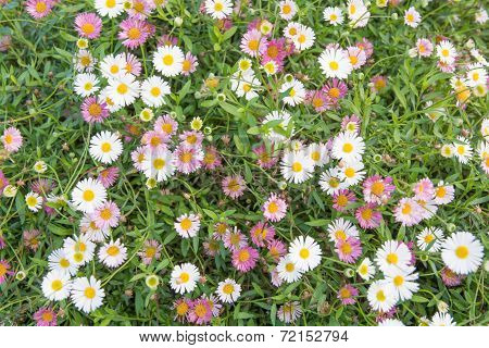 Purple And White Bellis Perennis