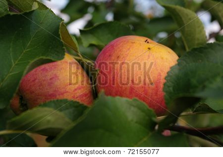 The great apple harvest