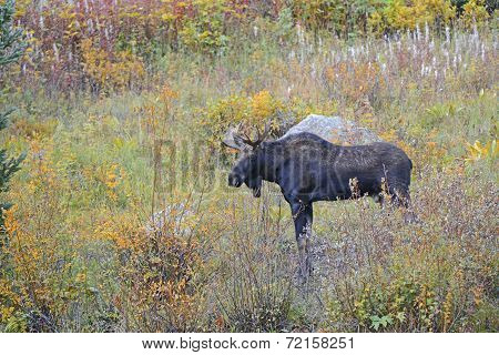 Bull Moose in meadow