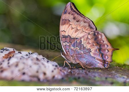 Tawny Rajah Butterfly
