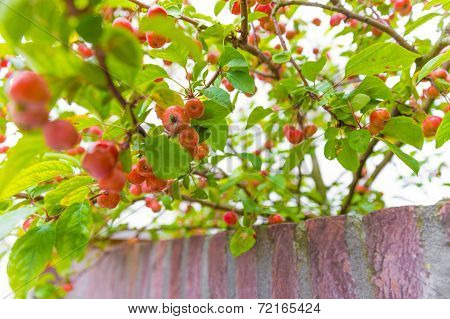 Crab Apple Tree Growing Over A Wall