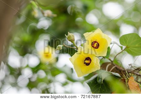 Shoe Flower Or Hibiscus