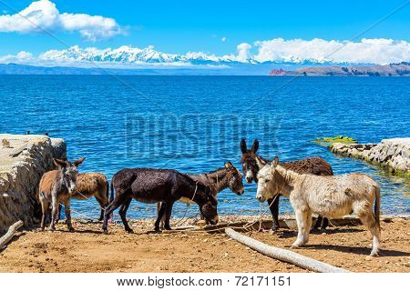 Six Donkeys And Lake Titicaca