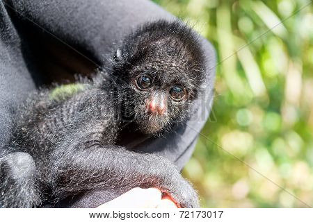 Three Month Old Spider Monkey
