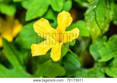 Flower Of Bitter Gourd.