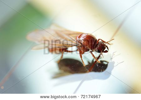 Little Insect, Termite White Ant