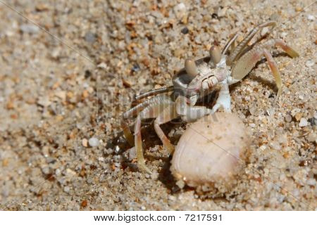 Lonely Crab Near A Shell In The Sand