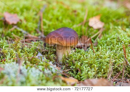 cep Mushrooms in the moss. autumn forest