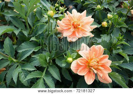 Two orange Dahlia flowers