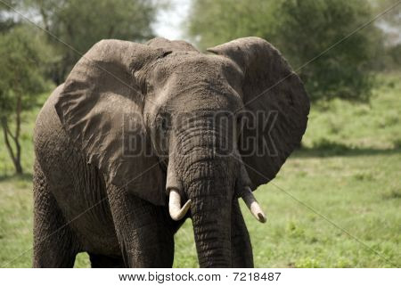 African Elephant, Selous National Park, Tanzania