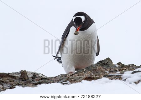 Gentoo Penguin With A Stone In Its Beak Near The Nest