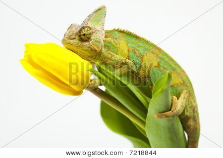 Chameleon sitting on a tulip