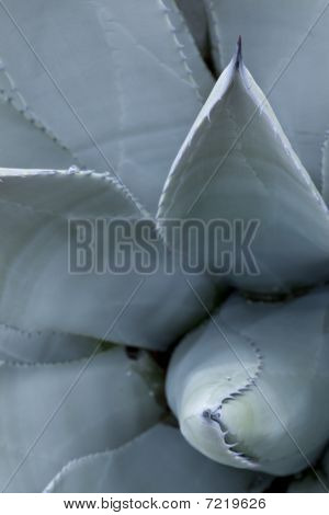 Blue Agave Close-up