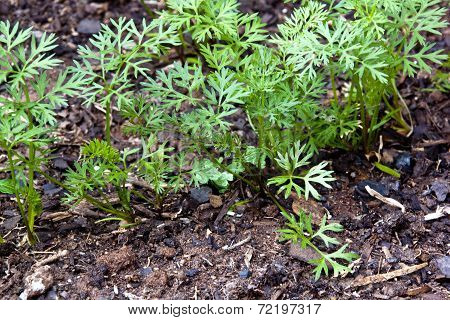 Young Sprouting Carrot Seedlings Growing In Rich Soil