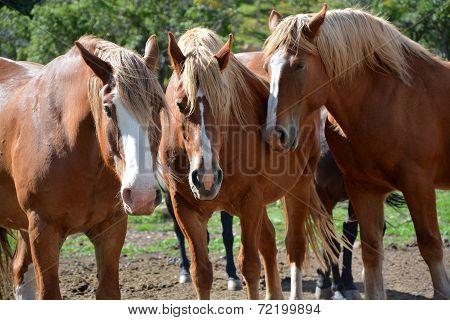 Draft Horse Family