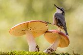 image of toadstools  - a nuthatch standing on toadstools looking up - JPG