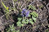 stock photo of primrose  - Early primroses in the spring wood: corydalis (Corydalis) ** Note: Shallow depth of field - JPG