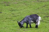 image of baby goat  - A black and white baby goat against grass  - JPG